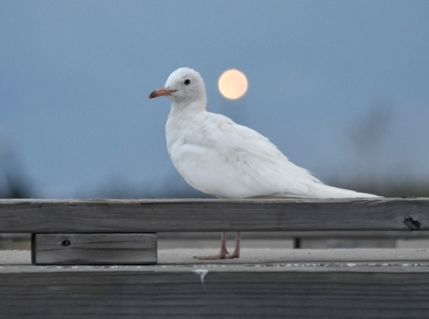 Leucistic Laughing Gull