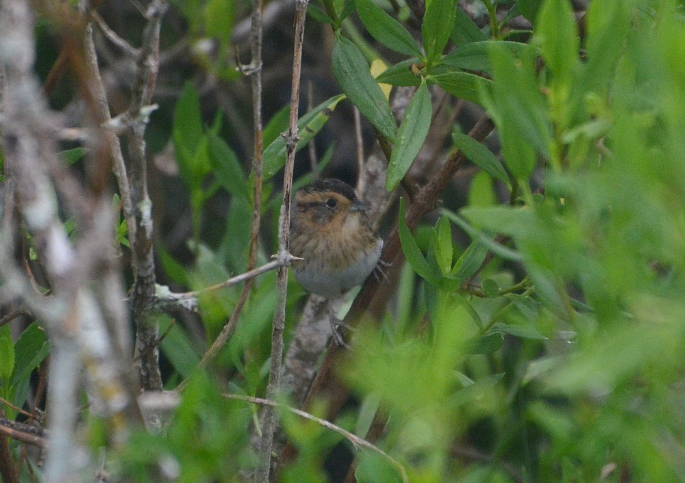 Nelson's Sparrow - 3-20-2015, Theodore Roosevelt Area