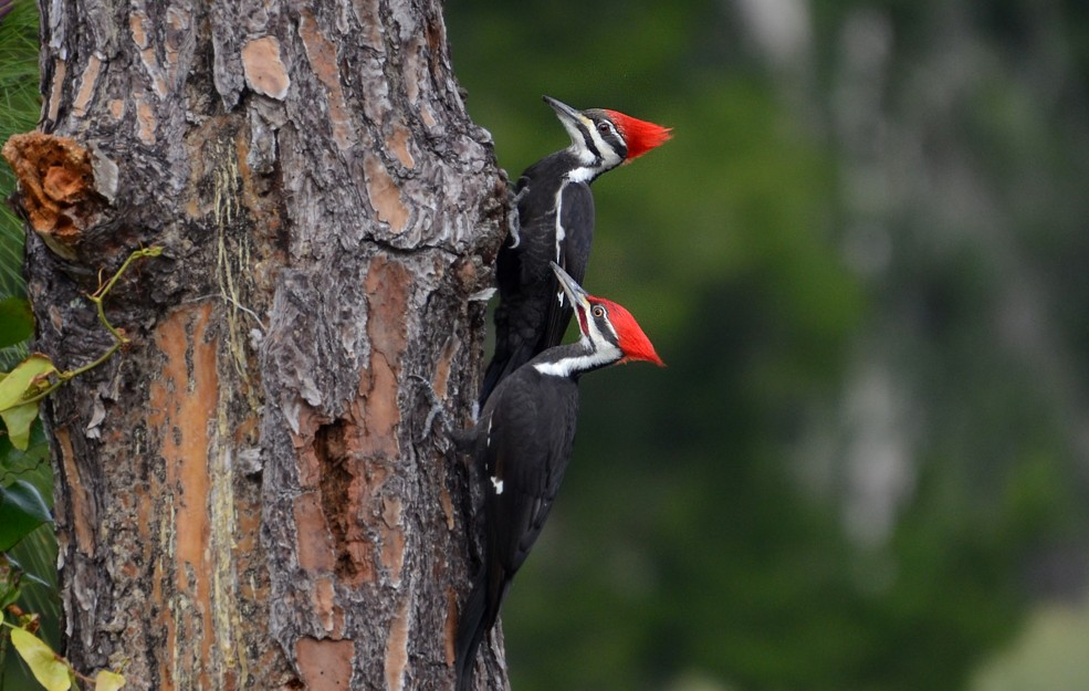 Pileated Woodpeckers - 1-22-2015, Blue Cypress Park