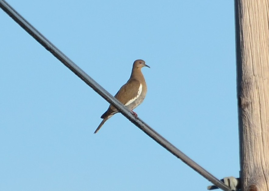 White-winged Dove - Little Talbot Island